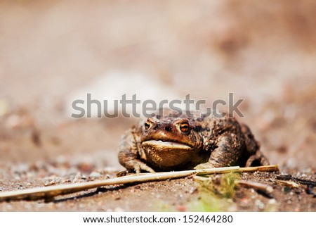 Rural frog sitting on the ground