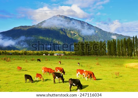 Rural idyll in Chile. Orange and black cows graze on green pasture. - stock photo
