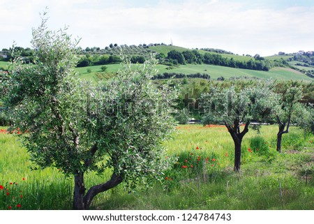 Rural Italian landscape with olive trees, poppies, hills, gardens, grass
