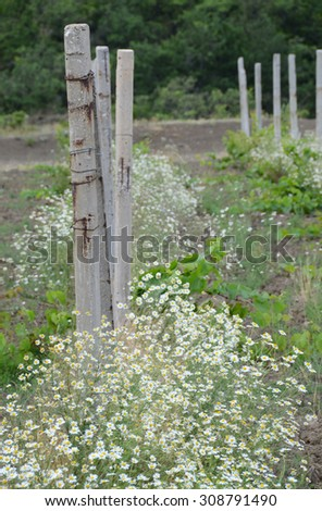 Rural landscape: chamomile thickets and concrete pillars. Country scenery: beauty in usual