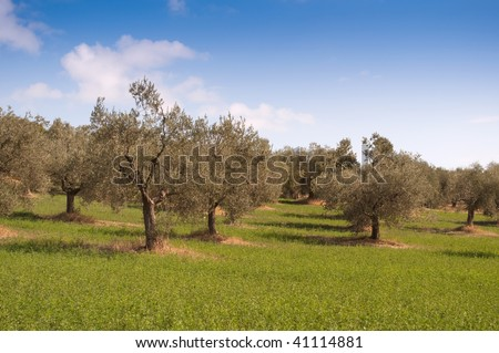 Rural landscape in Tuscany, olive trees in a field in summer