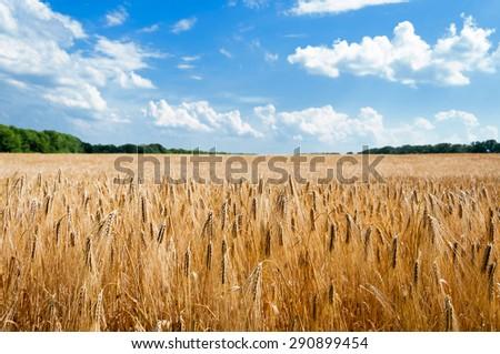 rural landscape. mature wheat field. - stock photo