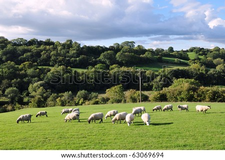 Rural Landscape of Sheep Grazing in a Green Field - stock photo
