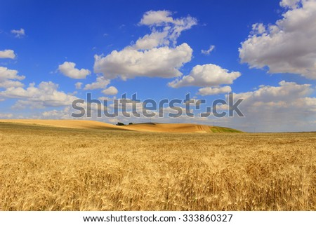 RURAL LANDSCAPE SUMMER.Between Apulia and Basilicata: cereal field.ITALY