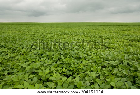 Rural landscape: vast field of soy beans on the farm  - stock photo