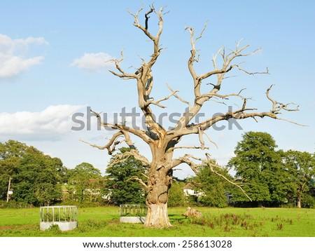 Rural Landscape View of an Old Dead Oak Tree Standing in a Green Field - stock photo