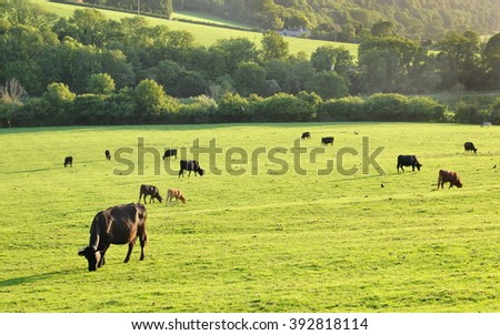Rural Landscape View of Cattle Grazing on in a Green Farmland Field Bathed in Warm Morning Sunlight - stock photo