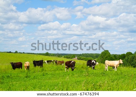 rural landscape with cows - stock photo