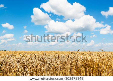rural landscape with ears of ripe wheat in field under blue sky with white clouds - stock photo