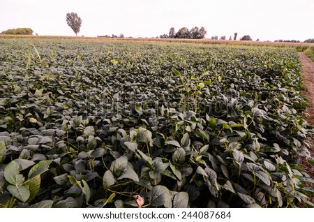 Rural Landscape with Fresh Green Soy Field in North Italy - stock photo