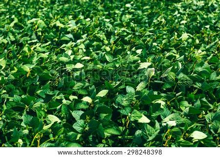 Rural landscape with fresh green soy field. Soybean field  - stock photo