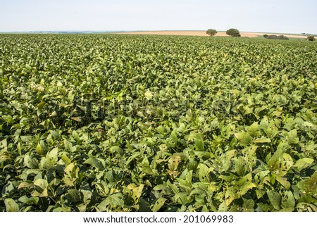 Rural landscape with fresh green soy field. Soybean field, in Tocantins, Brazil.