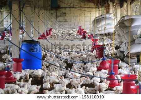 Rural poultry farm with young white chicks bred for chicken meat. This small scale industry is situated in south indian rural countryside and is crowded with white birds - stock photo