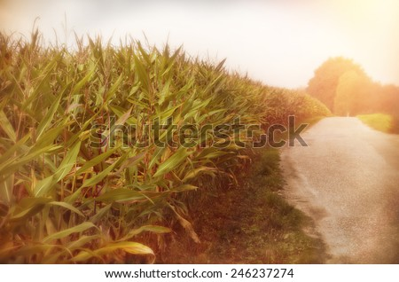rural road next to a corn field in the netherlands - stock photo