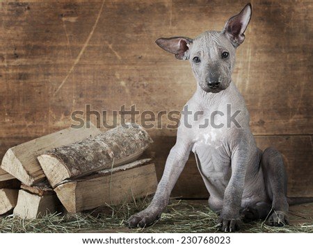 Rural styled shot of Mexican xoloitzcuintle puppy with firewood
