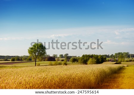 Rural wheat field view, flat field and trees bucolic expanse landscape in Poland, Europe, quiet and calming meadow with sunny blue sky nature landscape, summer time in horizontal orientation, nobody. - stock photo