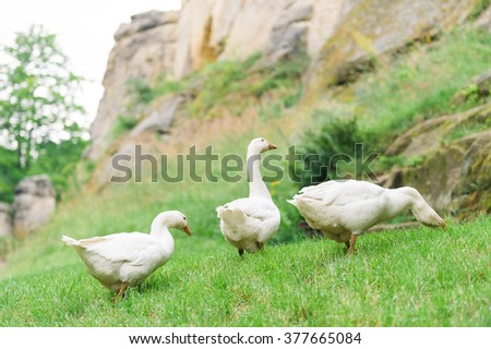 Rural white geese grazing green grass and walking around the farms courtyard