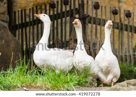 Rural white geese walking around on fresh green grass in the courtyard - stock photo