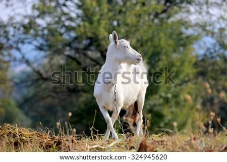 Rural white goat on pasture - stock photo