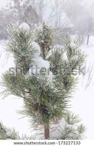 Rural winter landscape with twigs of pine covered snow