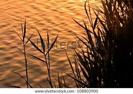 rush plants at the sunset, close-up rush, landscape image