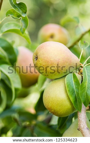 Russet pears in a pear tree in an orchard