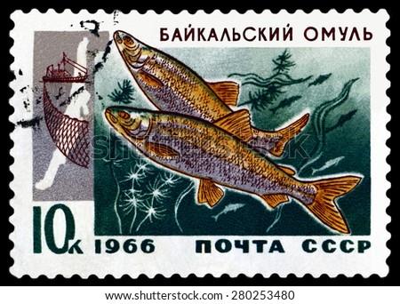 RUSSIA - CIRCA 1966: a stamp printed by Rusuia show the fish Baikal omul .  circa 1966 - stock photo