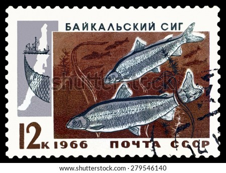 RUSSIA - CIRCA 1966: a stamp printed by Rusuia show the fish Baykal whitefish .  circa 1966 - stock photo