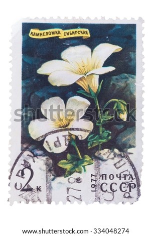 RUSSIA - CIRCA 1977: a stamp printed in the Russia shows Siberian Saxifrage, Saxifraga Sibirica, Siberian Flower, circa 1977 - stock photo