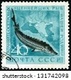 RUSSIA - CIRCA 1959: post stamp printed in USSR (soviet union) shows sturgeon with inscription: protect most valuable fish of our homeland, Scott catalog 2222 A1155 40k blue black gray, circa 1959 - stock photo