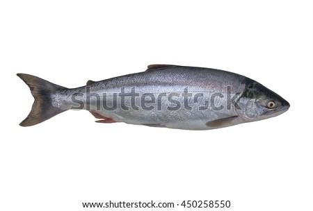 Russia, Kamchatka,Sockeye salmon (Oncorhynchus nerka),  also called red salmon, kokanee salmon, or blueback salmon, is an anadromous species of salmon found in the Northern Pacific Ocean