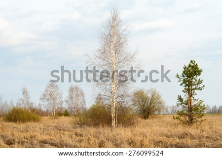 Russia. Spring landscape. Young birch and pine. - stock photo