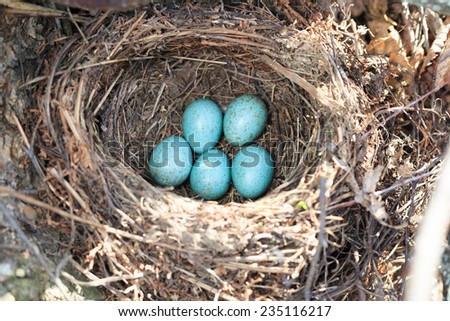 Russia, the Ryazan region (Ryazanskaya oblast), the Pronsky District, Denisovo.  The nest of the Blackbird (Turdus merula).