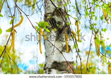 Russian birch earrings blooming spring day - stock photo