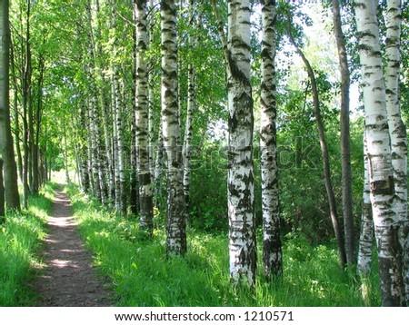 Russian birches - stock photo