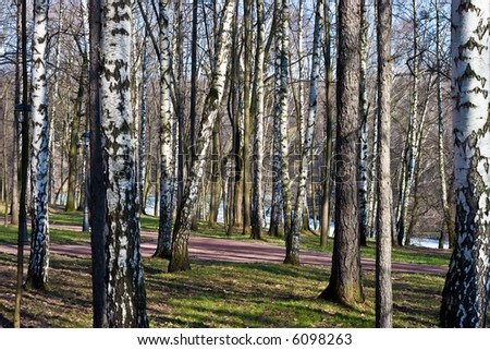 Russian birches in park Moscow