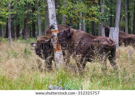 russian bison in Prioksko-Terrasniy Nature Reserve