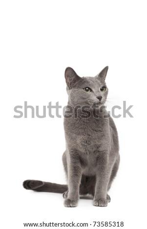 Russian blue cat - stock photo