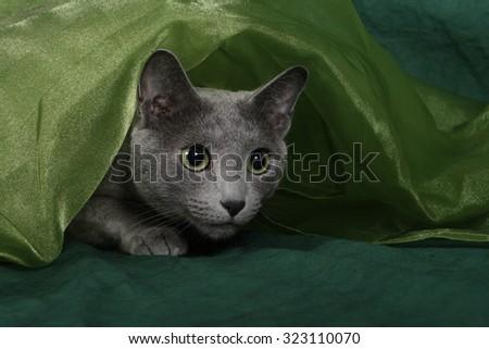 Russian Blue Cat, Archangel Blue, Archangel Cat - stock photo
