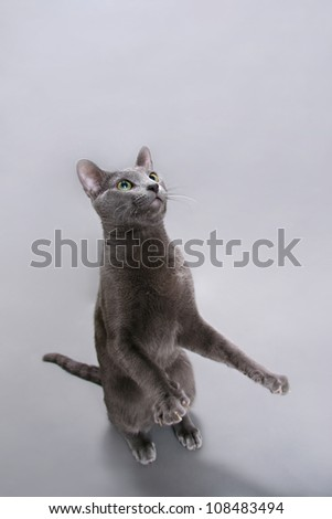 Russian blue cat asking something - stock photo