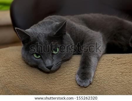 Russian Blue Cat on a chair in blur light background, sleepy cat face close up, lazy cat, lazy cat on day time, animals, domestic cat, relaxing cat, cat resting, Russian Blue, portrait of sad cat - stock photo