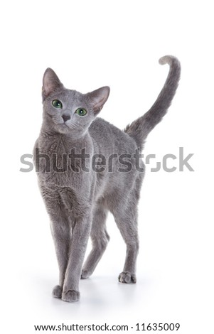 Russian Blue cat on white - stock photo