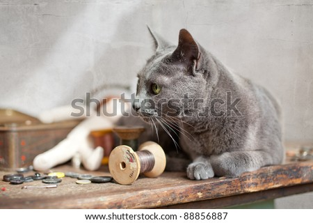 Russian Blue Cat relaxing on table with sewing tools - stock photo
