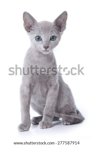 Russian blue cat sits isolated on white - stock photo