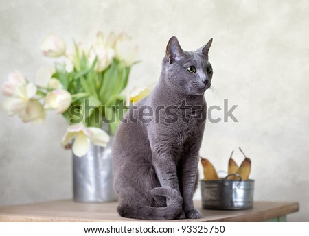 Russian Blue cat sitting on table with pears and tulips