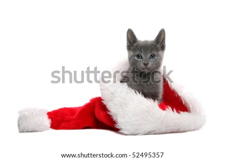 Russian Blue kitten in Christmas hat - stock photo