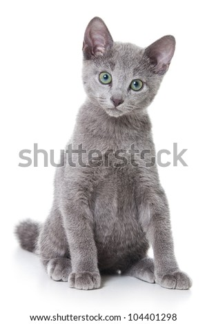 Russian blue kitten on white - stock photo