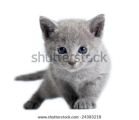 russian blue kitten on white background