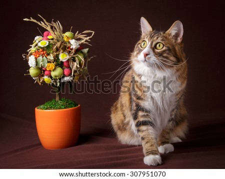 Russian Bobtail cat lying  on brown background with Topiary - stock photo