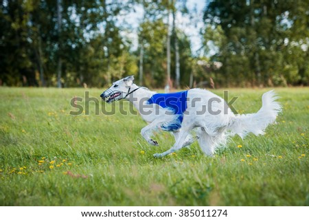 Russian borzoi dog running on lure coursing competition - stock photo